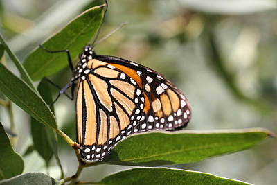 Photograph - Monarch On Leaf by Amelia Painter
