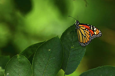 Photograph - Monarch On Leaf by Ann Bridges