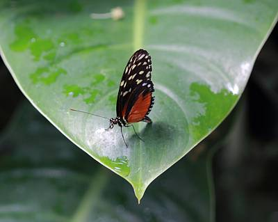 Photograph - Monarch On Leaf With Raindrops by Angela Murdock
