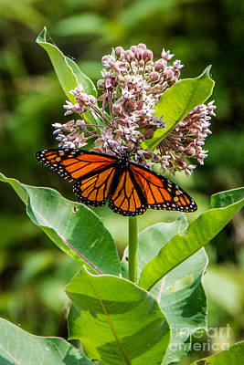 Photograph - Monarch On Milk Weed by Grace Grogan