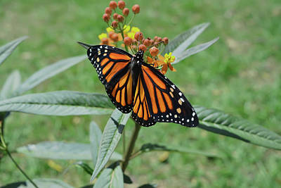 Photograph - Monarch On Milkweed by Aimee L Maher ALM GALLERY