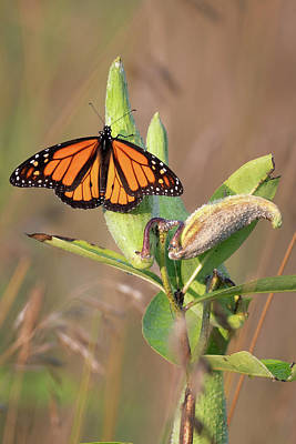 Photograph - Monarch On Milkweed by Bill Wakeley