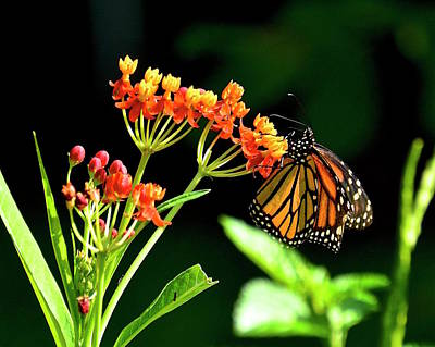 Photograph - Monarch On Milkweed by Carol Bradley