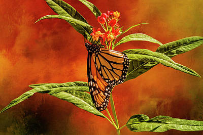 Photograph - Monarch On Milkweed by Diane Schuster