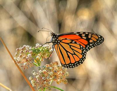 Photograph - Monarch On Milkweed by Donna Kennedy