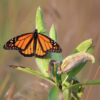 Photograph - Monarch On Milkweed Square by Bill Wakeley