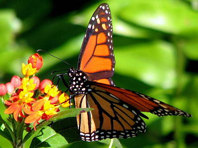Photograph - Monarch On Milkweed by T Guy Spencer