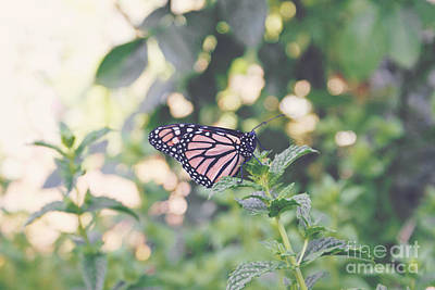 Photograph - Monarch On Mint by Cindy Garber Iverson