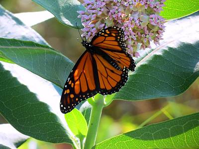 Photograph - Monarch On Pink Flower by Kyle West