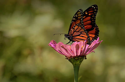 Photograph - Monarch On Pink Zinnia by Ann Bridges