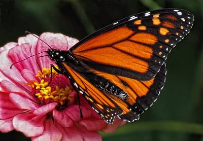 Photograph - Monarch On Pink Zinnia - Butterfly by MTBobbins Photography