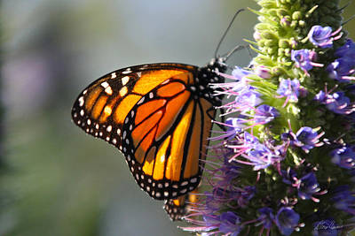 Photograph - Monarch On Purple Flower by Diana Haronis