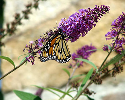 Photograph - Monarch On Purple Flowers by George Jones