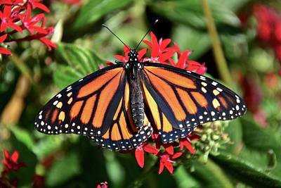 Photograph - Monarch On Red Pentas by Carol Bradley