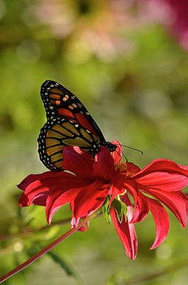 Photograph - Monarch On Red Zinnia by Ann Bridges