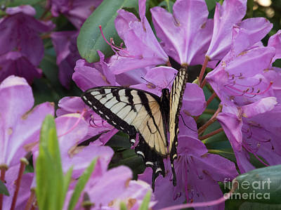Photograph - Monarch On Rhododendron by Scott Hervieux