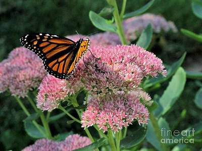Photograph - Monarch On Sedum by Marilyn Smith