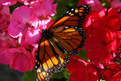 Photograph - Monarch On Summer Geraniums by Dora Sofia Caputo Photographic Design and Fine Art