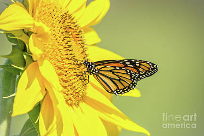 Photograph - Monarch On Sunflower  by Cheryl Baxter