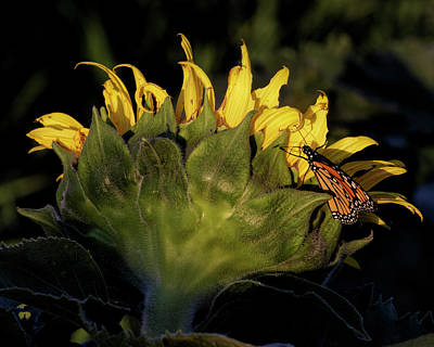 Photograph - Monarch On Sunflower by Rob Graham