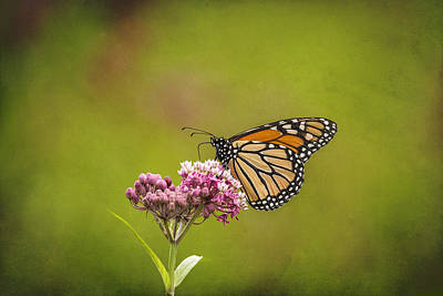 Monarch On Swamp Milkweed 2014-2 Print by Thomas Young