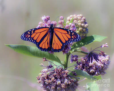 Photograph - Monarch On The Milkweed by Kerri Farley