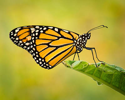 Photograph - Monarch On The Throne by Bill Pevlor