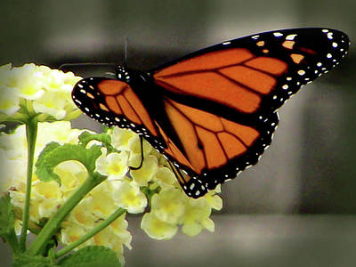 Photograph - Monarch  On Verbena  by Leslie Montgomery