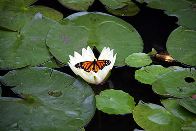 Photograph - Monarch On Waterlily by George Jones