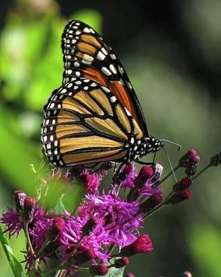 Photograph - Monarch On Wildflower by Ann Bridges