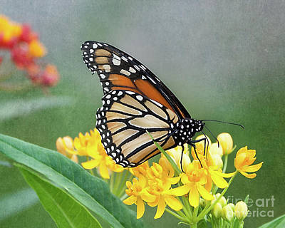 Photograph - Monarch On Yellow by Ann Jacobson