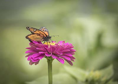Monarch On Zinnia 2-2015 Print by Thomas Young