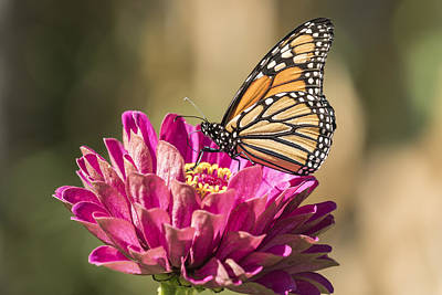 Reptiles - Monarch On Zinnia 8-2015 by Thomas Young