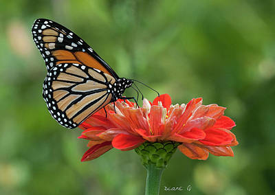 Photograph - Monarch On Zinnia by Diane Giurco