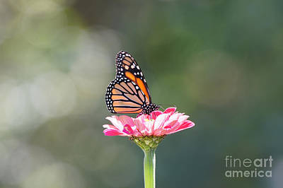 Photograph - Monarch On Zinnia Flower by Robert E Alter Reflections of Infinity