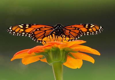 Monarch Orange Original