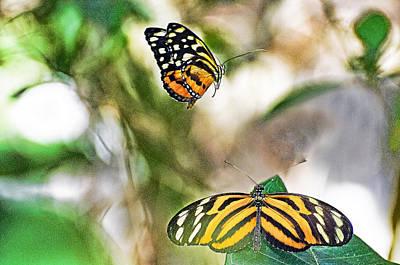 Monarch Pair Art Print by Cheryl Cencich