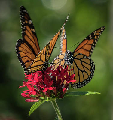 Photograph - Monarch Pair by Jane Luxton