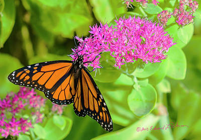 Photograph - Monarch Pretty In Pink by Edward Peterson