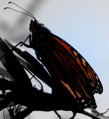 Photograph - Monarch Profile by Laurie Pike