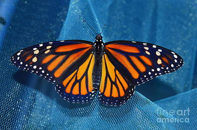Photograph - Monarch Royalty by Lew Davis