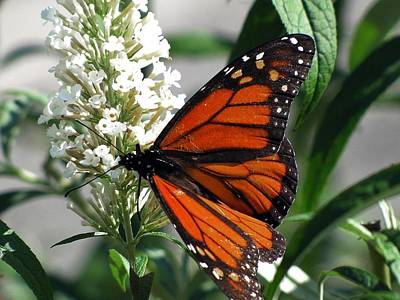 Photograph - Monarch by Scott Hovind