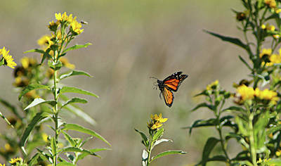 Photograph - Monarch by Thomas Bomstad