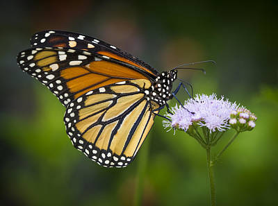 Photograph - Monarch by Van Sutherland