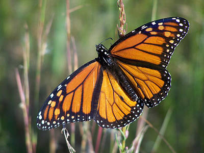 Photograph - Monarch Wings by rd Erickson