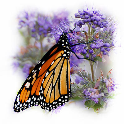 Photograph - Monarch With Closed Wings by Kathleen Stephens