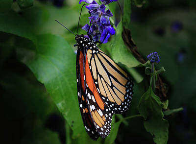 Photograph - Monarch With Folded Wings On Lavender by Joni Eskridge