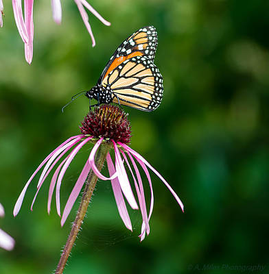 Photograph - Monarched Coneflower by Andrew Miles