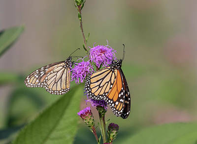 Photograph - Monarchs 2018-1 by Thomas Young