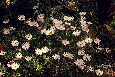 Photograph - Monarchs And Daisies by Cassandra Buckley